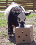 AJ receiving behavioral enrichment (carrots in a box)